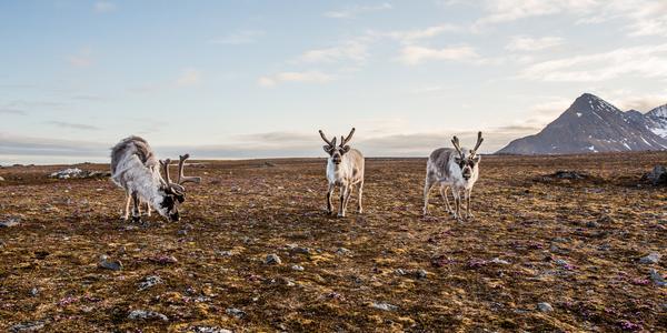Renos en Tundra Siberiana - El Permafrost se derrite. Virus y bacterias resurgen por el deshielo, un riesgo real para la salud